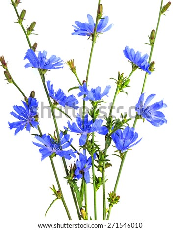 chicory herb - stock photo