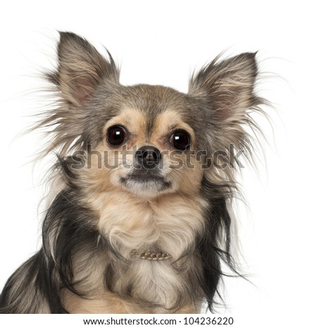Chihuahua against white background - stock photo