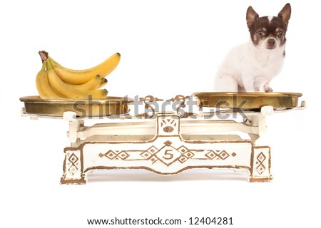 chihuahua and banana - stock photo