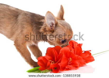 chihuahua and flowers  isolated on white background - stock photo