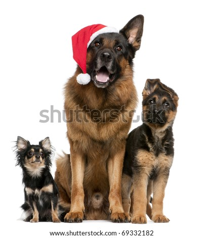 Chihuahua and German Shepherds with Santa hat sitting in front of white background - stock photo