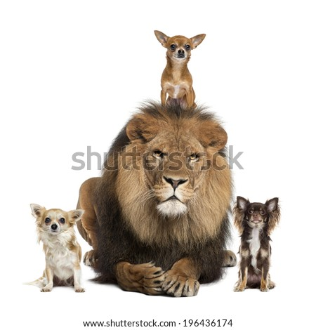 Chihuahua and Lion - stock photo