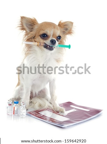 chihuahua and syringe in front of white background - stock photo