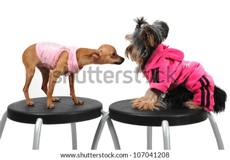 chihuahua and yorkshire terrier sitting against each other on stools - stock photo