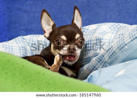 Chihuahua chew own paw - stock photo