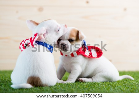 Chihuahua ,Chihuahua puppy, lovely pet. - stock photo