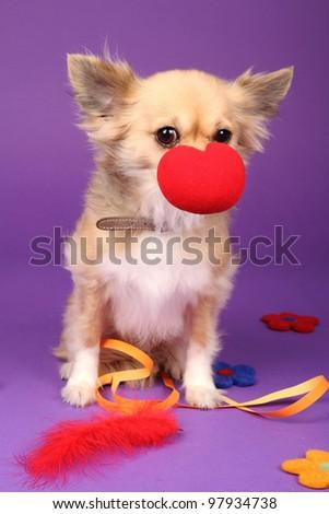 chihuahua clown - stock photo