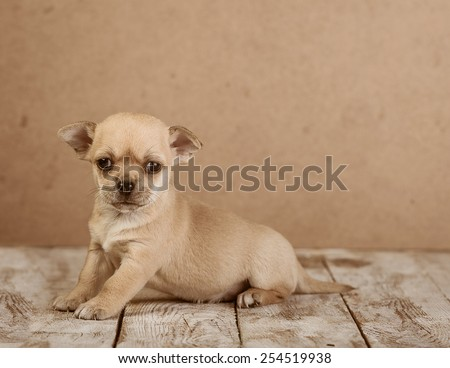 chihuahua dog - stock photo