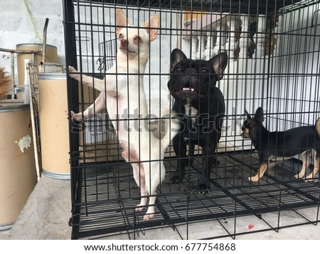 Chihuahua dog and French Bulldog standing in the cage.