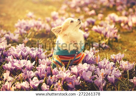 Chihuahua dog and gentle purple crocus flowers  filtered sunny spring background  - stock photo