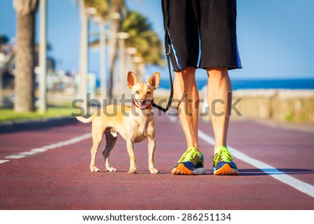 chihuahua dog close together to owner walking with leash outside at the park as friends - stock photo