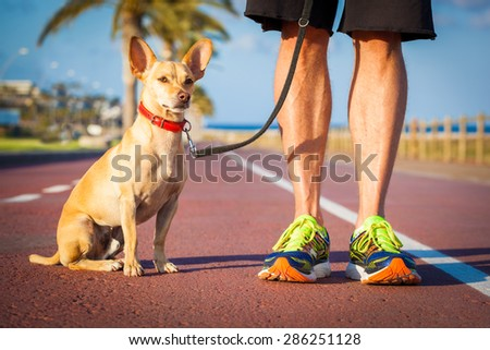 chihuahua dog close together to owner walking with leash outside at the park as friends, dog looking what is happening around - stock photo