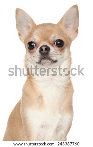 Chihuahua dog. Close-up portrait isolated on a white background - stock photo