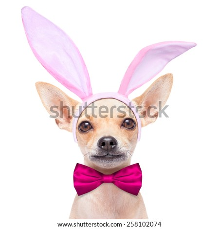 chihuahua dog  dressed with bunny easter ears and a pink tie, isolated on white background - stock photo