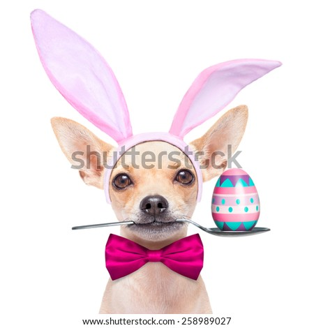 chihuahua dog  dressed with bunny easter ears and a pink tie with egg on spoon, isolated on white background
