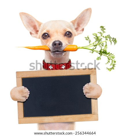 chihuahua dog eating healthy with a carrot in mouth , holding a blank banner ,blackboard or placard, isolated on white background - stock photo