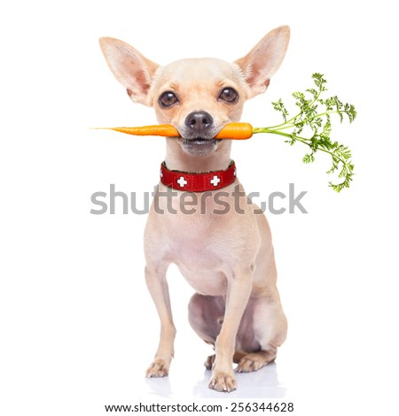 chihuahua dog eating healthy with a carrot in mouth , isolated on white background