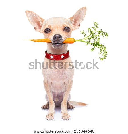 chihuahua dog eating healthy with a carrot in mouth , isolated on white background - stock photo