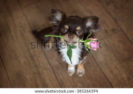 chihuahua dog holding a pink rose