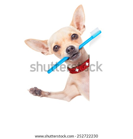 chihuahua dog holding a toothbrush with mouth behind a blank banner or placard, isolated on white background - stock photo