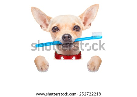 chihuahua dog holding a toothbrush with mouth behind blank banner or placard, isolated on white background - stock photo