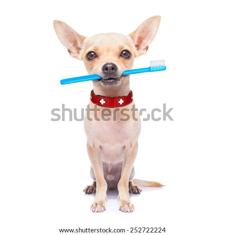 chihuahua dog holding a toothbrush with mouth , isolated on white background - stock photo