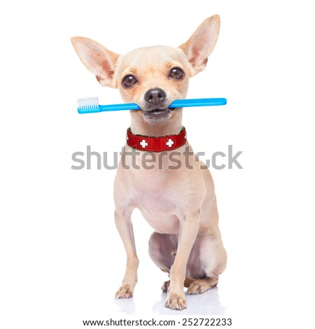 chihuahua dog holding a toothbrush with mouth , isolated on white background