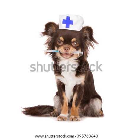 chihuahua dog in a doctor's hat holding syringe - stock photo