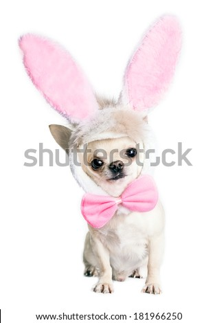chihuahua dog in a funny costume of an Easter hare isolated