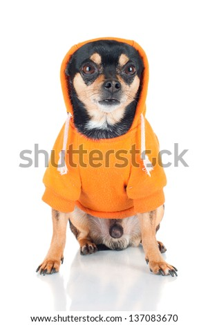 chihuahua dog in a hoodie - stock photo