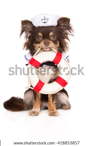 chihuahua dog in a sailor hat holding a life buoy
