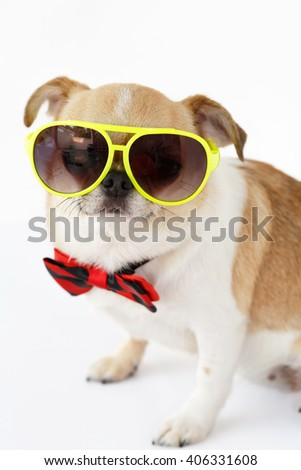Chihuahua dog in eyeglasses with bow tie on white background.