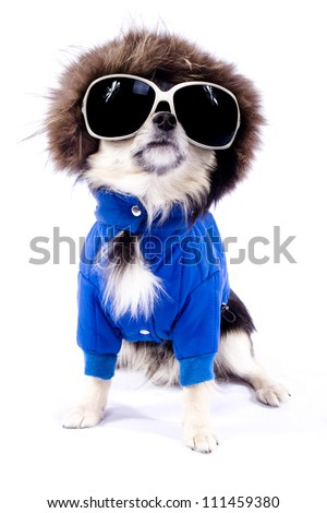 Chihuahua dog in glasses - stock photo