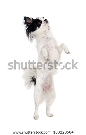 Chihuahua dog is standign up. Isolated on a clean white background.
