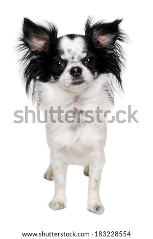 Chihuahua dog is standing. Isolated on a clean white background. - stock photo