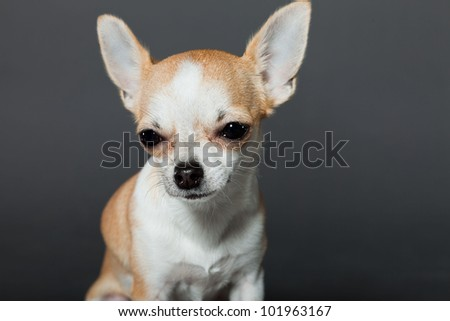 Chihuahua dog isolated on grey background. Closeup portrait. Very small. Little. Studio shot.