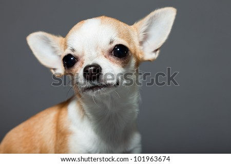Chihuahua dog isolated on grey background. Closeup portrait. Very small. Little. Studio shot. - stock photo