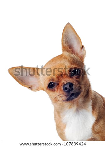 chihuahua dog isolated  on white background - stock photo