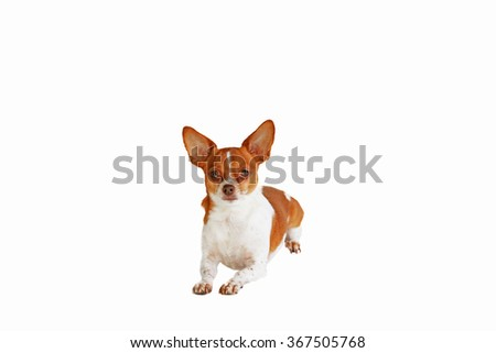 Chihuahua dog laying down on a white background - stock photo