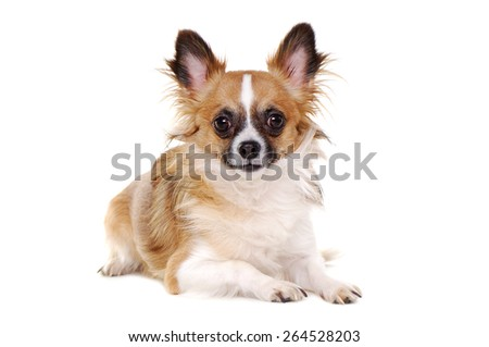 chihuahua dog laying on the floor