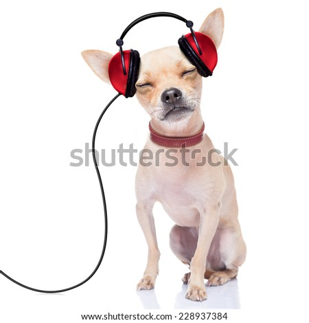 chihuahua dog listening music, while relaxing and enjoying the sound , isolated on white background - stock photo