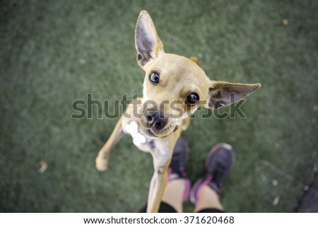 Chihuahua Dog looking into the camera begging - stock photo