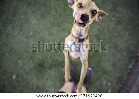 Chihuahua Dog looking into the camera licking lips