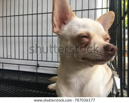 Chihuahua dog lying in the cage, sleep time, sweet dream.