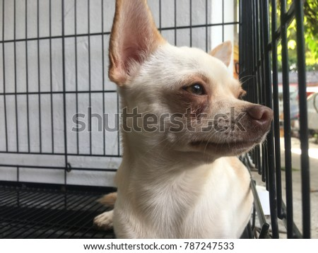 Chihuahua dog lying in the cage, sleep time, sweet dream, cute dog.