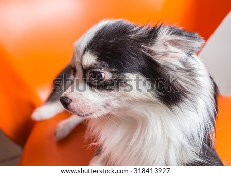 Chihuahua dog lying on the chair