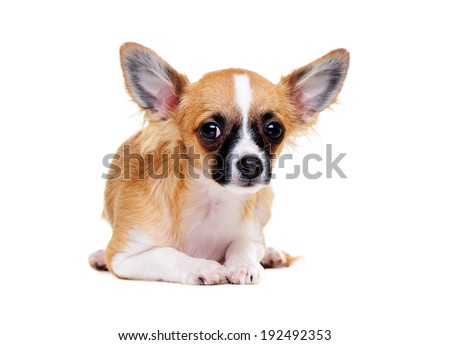 chihuahua dog lying on the floor