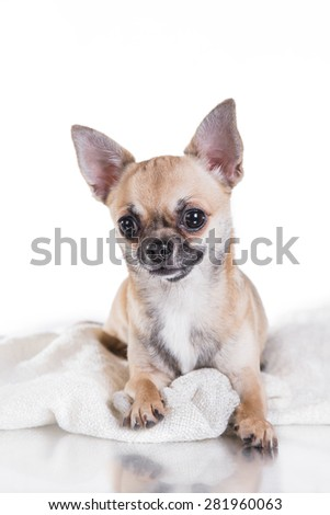 Chihuahua dog on a studio white background
