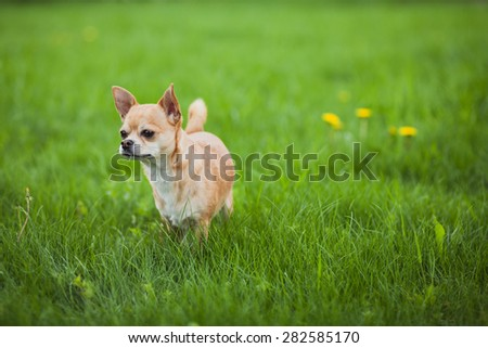 Chihuahua dog on the green grass in nature
