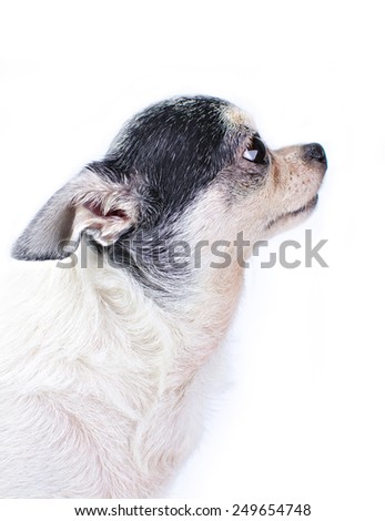 Chihuahua dog on white background  - stock photo